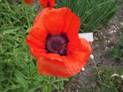 Saaheli FLOWER PAPAVER NUDICAULE RED Seed
