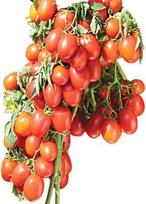 Indous Agriseeds Indous Rajshakti F1.Hy.Tomato 2000 Seeds Per Packet Seed