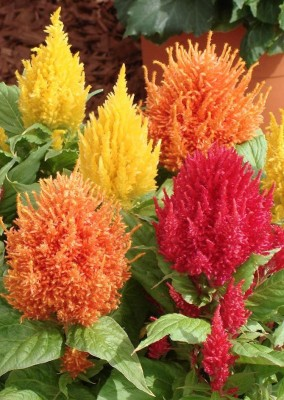 Real Seed Celosia Mixed Hybrid Flower Seed