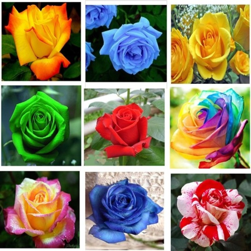 Rose Rose9 Seed(45 per packet)