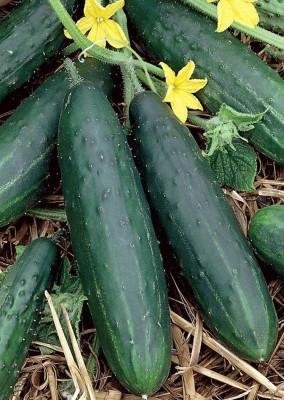 Real Seed Cucumber (Kheera) F1 Hybrid Imported Seed