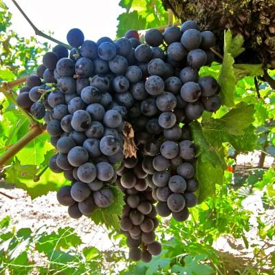 Futaba Black Grape Seed