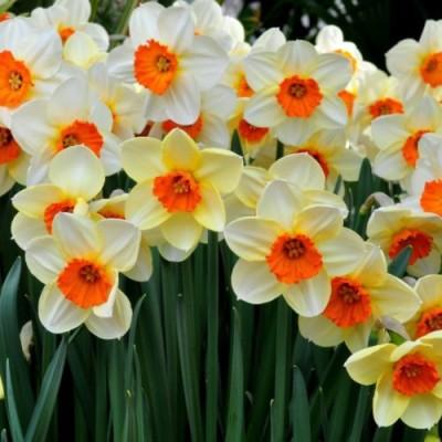 Futaba Narcissus Flower Daffodil Seed