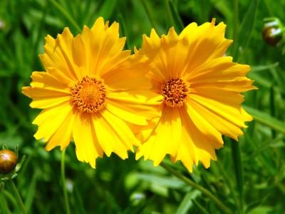 Saaheli FLOWER COREOPSIS LANCELOTA Seed