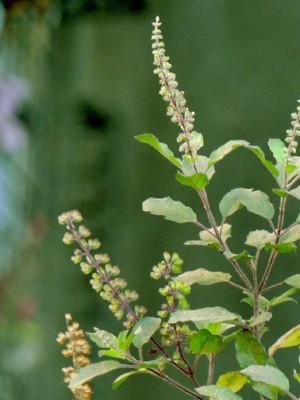 SeedBazaar Holy Basil (Shyama Tulsi) / Ocimum sanctum Seed