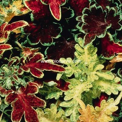 Biocarve PanAm Coleus Seed