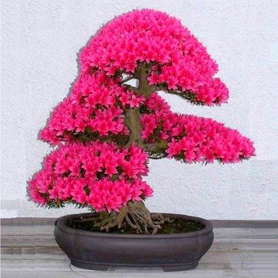 Rainbow Spring Seeds Japanese Sakura Cherry Blossom Bonsai Tree Seed