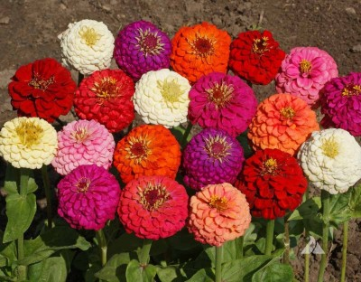 Farm Seeds Zinnia Lilliput Mixed Seed