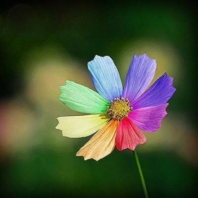 Futaba Rare Rainbow Chrysanthemum Seed