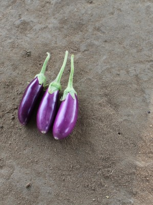 Indous Agriseeds Indo Us Dhar F1 Hy,Eggplants 200 Packet of Seed