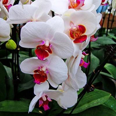 Futaba White Phalaenopsis Seed