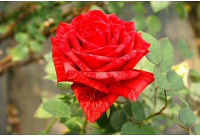 Rainbow Spring Seeds Red Tiger Rose Flower Seed