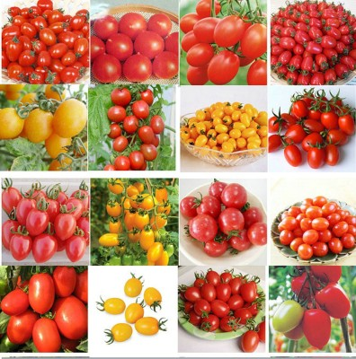 Eplant all kinds of tomato Seed