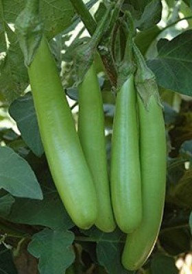 Raunak Seeds Brinjal Green Long, 100 Seeds Seed