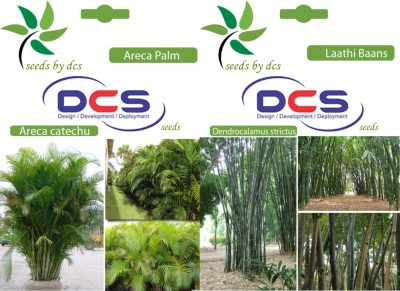 DCS Areca Palm & Laathi Baans (2 Packets of Seeds) Seed