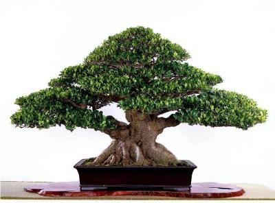 Saaheli Banyan Tree Bonsai Ficus Benghalensis Seed(10 per packet)