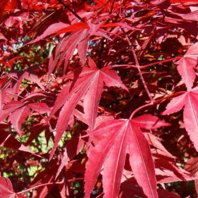 Futaba America Maple Seed