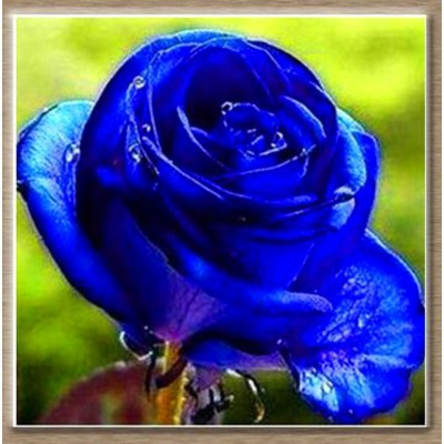 Rainbow Spring Seeds Rare Blue Rose Flower Seeds Seed