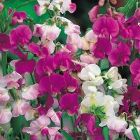Omaxe Sweet Pea Trailing Royal Mixed, 50seeds*3pkts Seed(1 per packet)