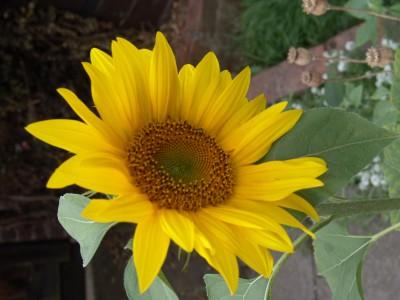 Futaba Dwarf sunflower Seed