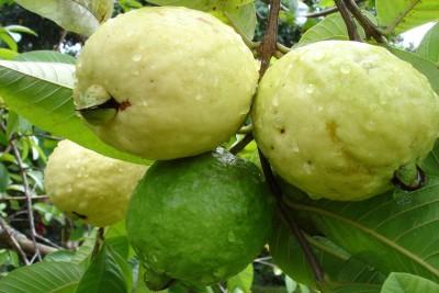 Seedlings india Guava Seeds Hybrid Seed