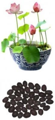 Alkarty pink lotus Seed(12 per packet)