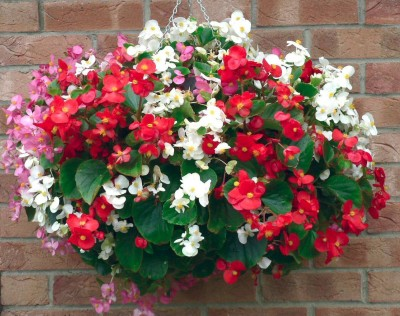 Saaheli FLOWER BEGONIA SEMPERFLORENS Mix Seed