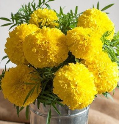 Omaxe Marigold F2 Dwarf Big Flower Yellow, 50seeds*3pkts Seed