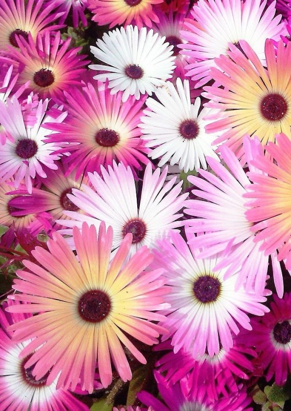 Real Seed Ice Plant Double Mixed Hybrid Imported Flower Seeds Seed(150 per packet)