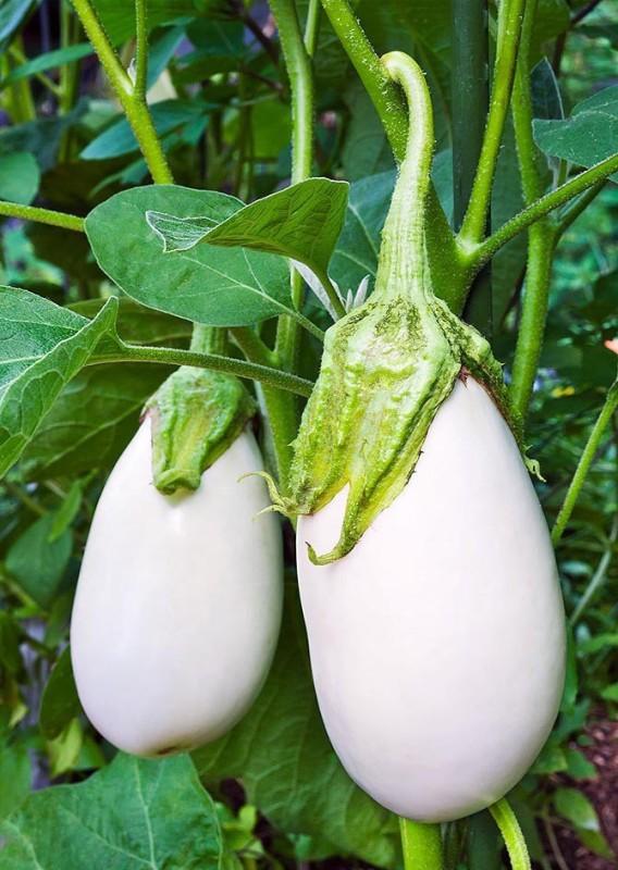 Real Seed Brinjal White F1 Hybrid Premium Seed(40 per packet)