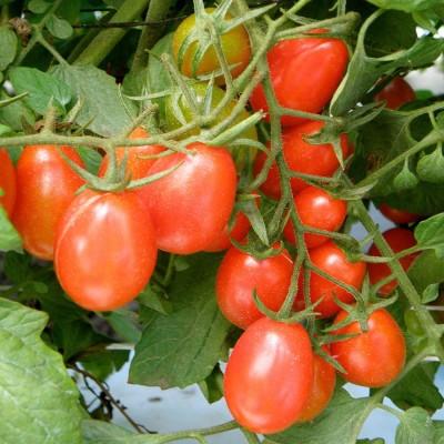 Biocarve Tomato Cherry Seed
