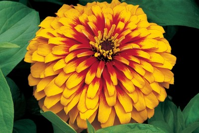 Farm Seeds Zinnia Double Yellow Seed