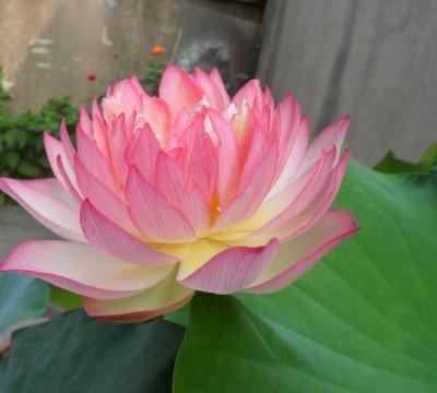 Futaba Light Pink Bowl Lotus Seed