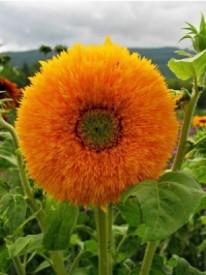 Tuzech Sunflower Sun Gold Flower Seed(25 per packet)
