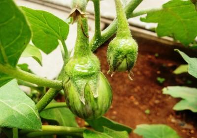Cocogarden Brinjal Seed