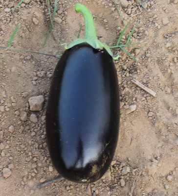 Indous Agriseeds Indo Us 999 F1 Hy.eggplants seeds 2400 seeds per packet Seed