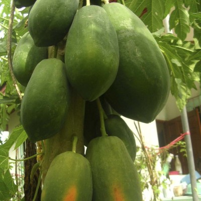 Biocarve Papaya F1 Red Lady Hybrid Seed