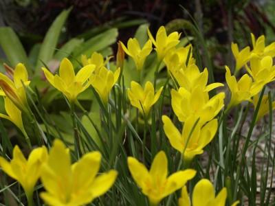 SeedFactory Yellow Rain Lily Plant Seed