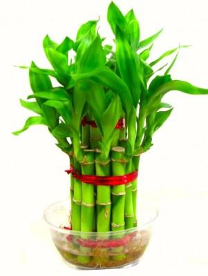 Saaheli Bamboo Seeds Seed