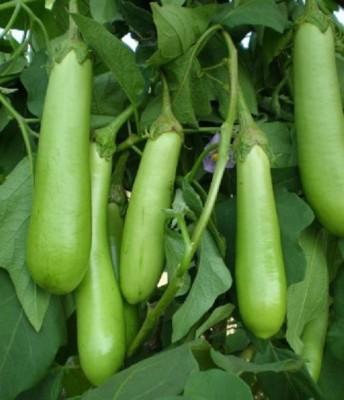 Seedbazaar Hybrid Brinjal Seed