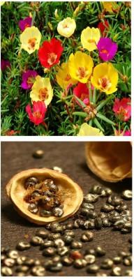 Alkarty Portulaca Seed