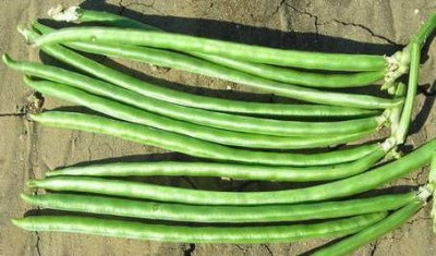 Indous Agriseeds Indo Us Indu Cowpea Seeds 500 Gm Seed
