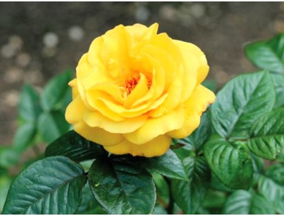 Rainbow Spring Seeds Yellow Rose Flower Seed