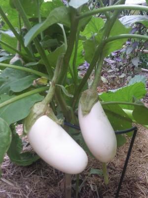 Farm Seeds HYBRID BINJAL Seed