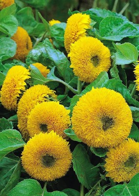 Real Seed Sunflower Sungold F1 Hybrid Flower Seed