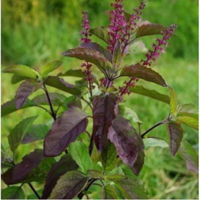 Seedbazaar Tulsi / Holy Basil (Ocimum tenuiflorum) Seed