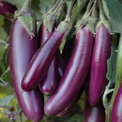Biocarve Brinjal Purple Slender Seed