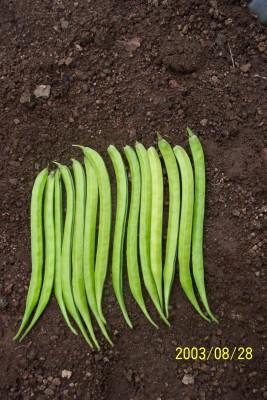 Indous Agriseeds Indo Us Kohinoor Clusterbean Seeds 500 Gm.peck Seed