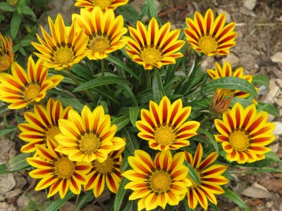 Saaheli Gazania Yellow Red Flower seeds Seed