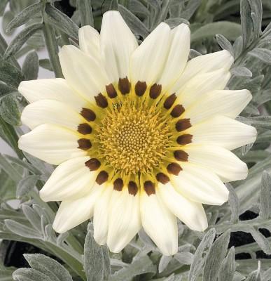 Saaheli Gazania White Flower Seeds Seed
